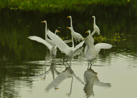 Mating Dance of Egrets