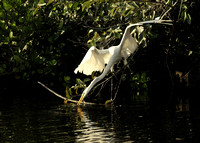 Great Egret spearing a fish